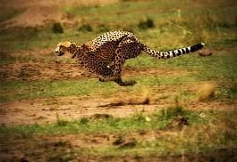 1_cheetah_run.jpg