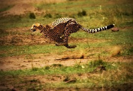 1_cheetah_run.jpg
