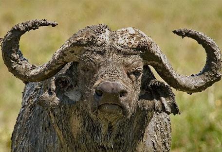 buffalo_mud.jpg