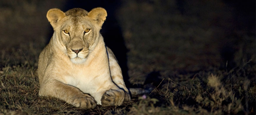 lioness_1.jpg