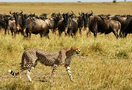 07-cheetah-and-wildebeest.jpg