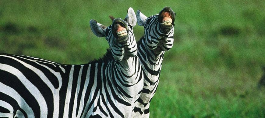 Zebras Pictures Copy Laughing-zebras-copy-copy.jpg