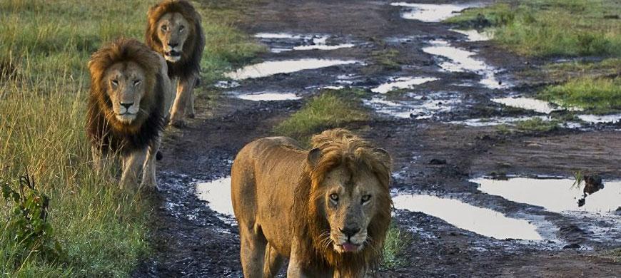 lions_1.jpg