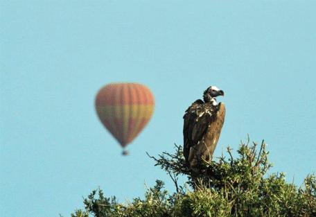 456h_leleshwa-camp_vulture.jpg