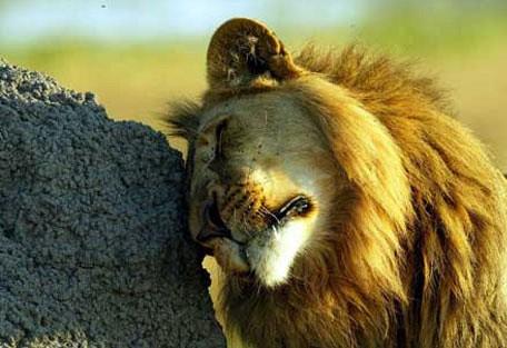 Ani--lion.jpg