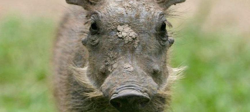 warthog_piglet.jpg