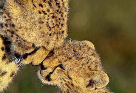 456f_little-naibor_cheetahs.jpg