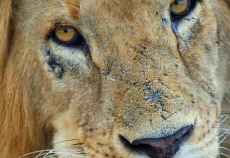 456g_little-naibor_lion2.jpg