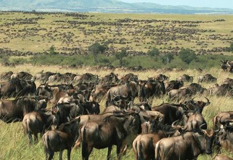 456h_little-naibor_wildebeest-migration.jpg
