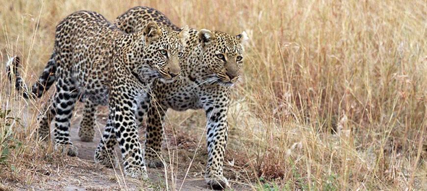 leopard_duo.jpg