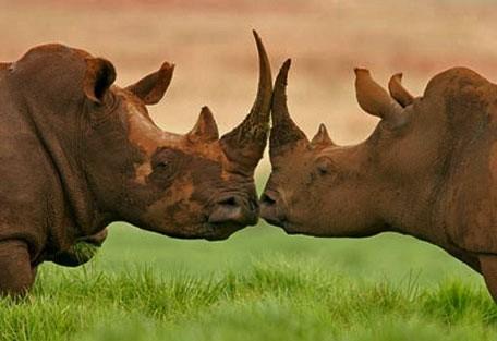 rhinos_1.jpg