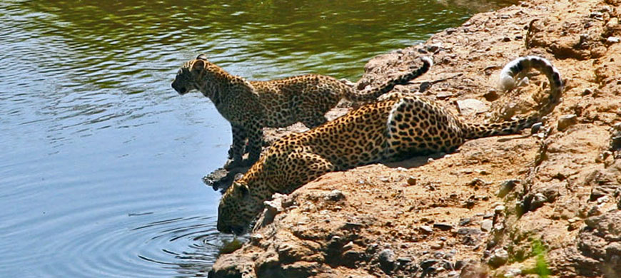 870_maratoto_leopards.jpg