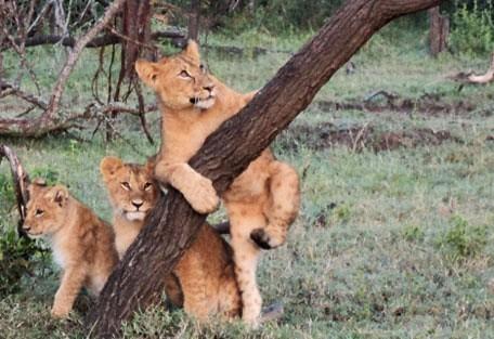 cubs_at_play.jpg