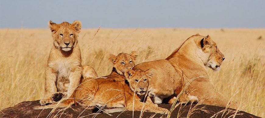 kenya_holidays_lions.jpg