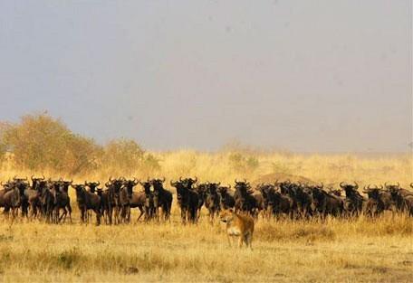 wildebeest_lion.jpg