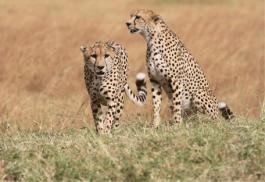 456_sandriver_cheetah.jpg