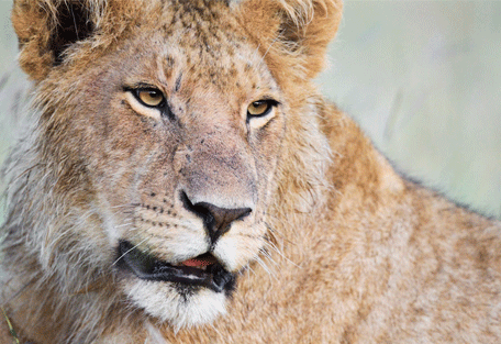 456_sandriver_lions.jpg