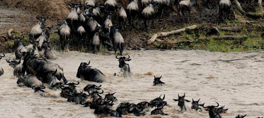 migration-crosses-river.jpg