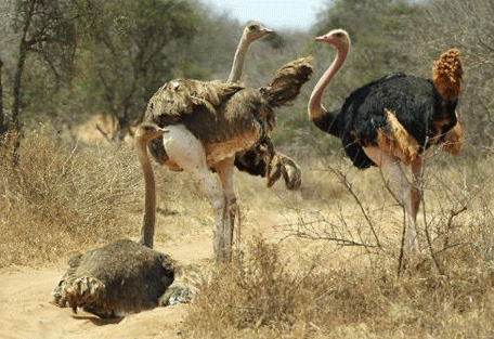 456e_selenkay-adventure-camp_ostriches.jpg