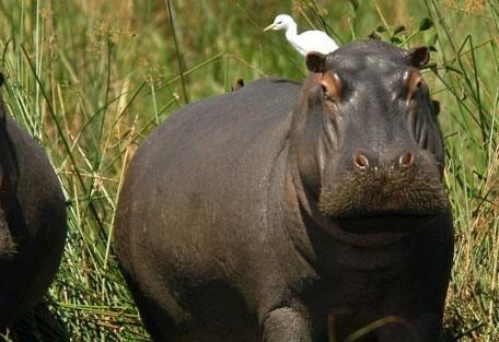 malawi-hippo.jpg