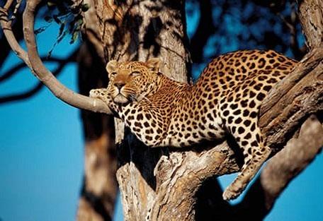 meru_leopard.jpg