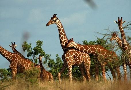retic_giraffe.jpg