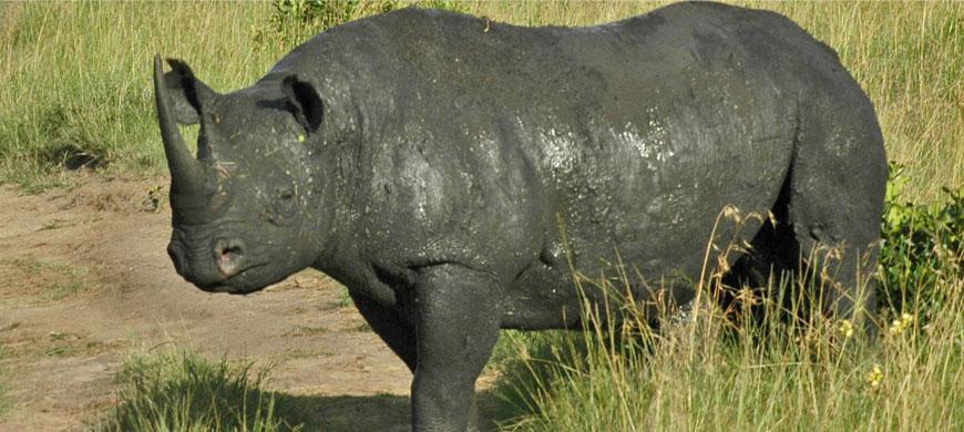 rhino-meru.jpg