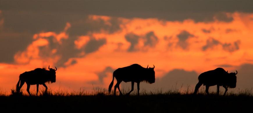 wildebeest-sunset.jpg