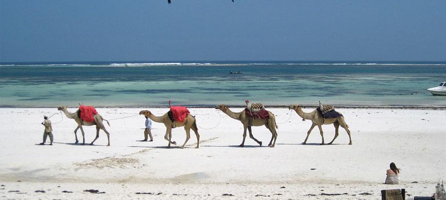 870_mombasa_camels.jpg