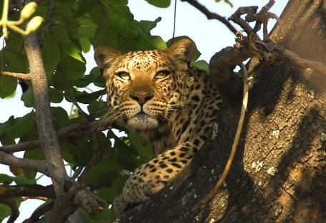 masai-tree-leopard.jpg