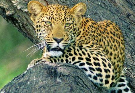 samburu-leopard.jpg