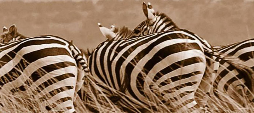wide-massi-zebra.jpg