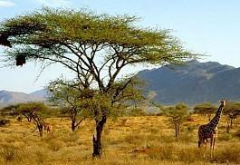 giraffe_tree.jpg