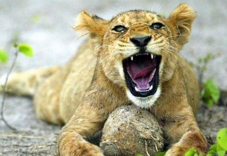samburu-lioness.jpg