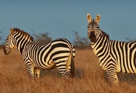 kenya-zebra.jpg