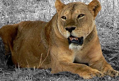 kenya-tsavo-east-lioness.jpg