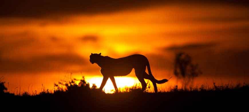 cheetah_sunset.jpg