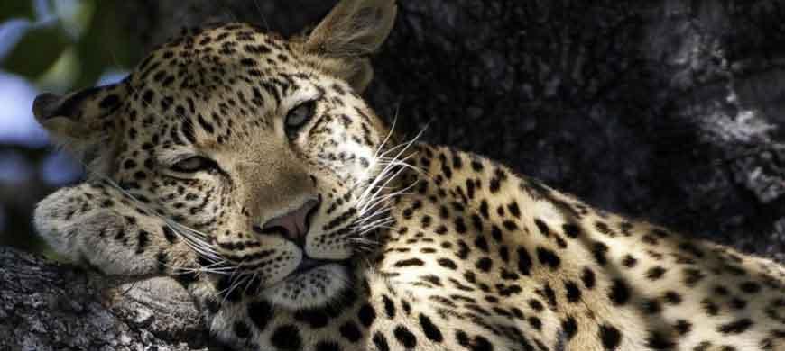 lazy_leopard.jpg