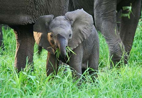 456_malawi_elephant.jpg