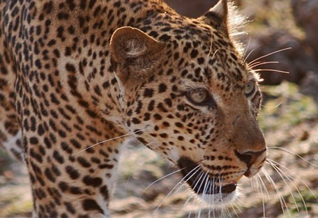 456_liwonde_leopard.jpg