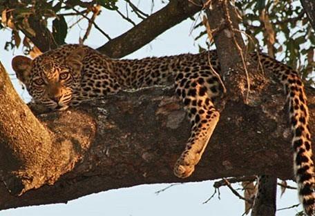 456_nkhotakota_leopard.jpg