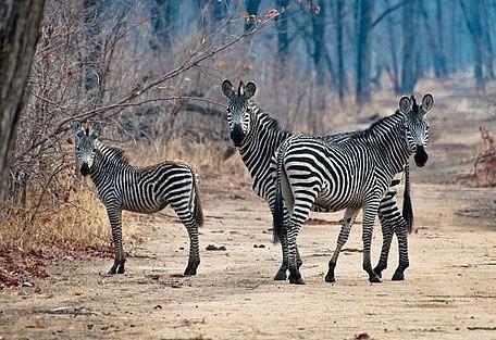 456_nyika_zebras.jpg