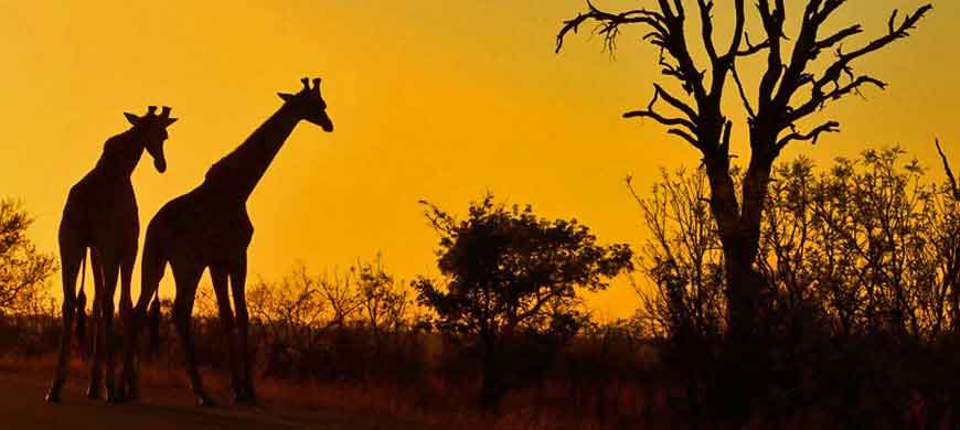 870_malawi_giraffe.jpg