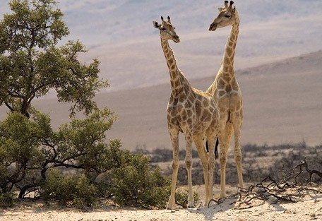 namibia-giraffe.jpg