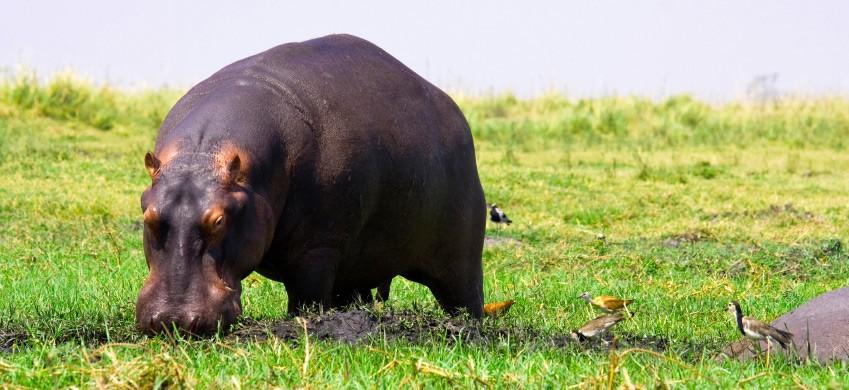 hippo-grass.jpg