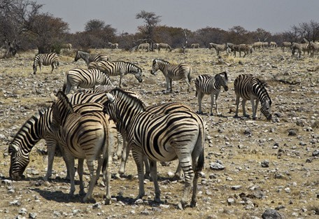 zebra5-wilderness.jpg