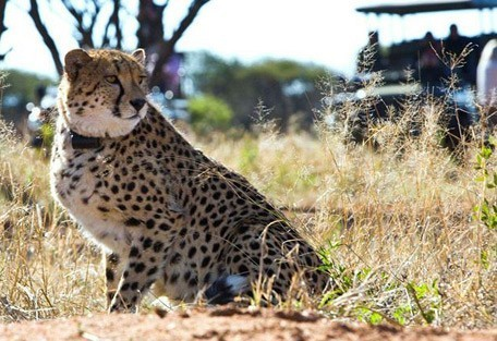 cheetah-tracking2.jpg