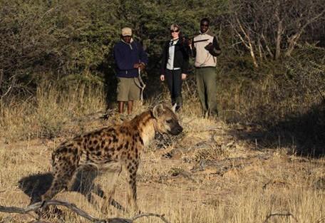 hyena-walk.jpg