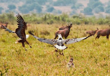 456_rwanda_eagles.jpg