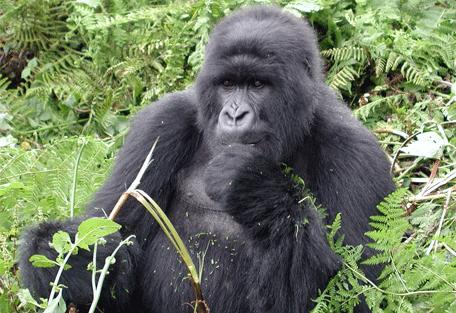 870_rwanda_gorilla.jpg